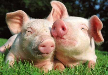 Pakan Babi Ternak Campuran