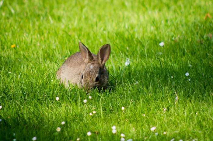 rumput makanan kelinci